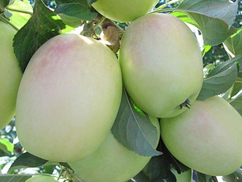 удлиненные яблоки сорт